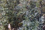 Мужчина рассказал, что выращивал коноплю для себя. Фото: пресс-служба ГУНП