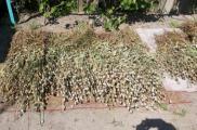 Во время обыска нашли 200 кустов мака. Фото: khar.gp.gov.ua