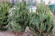 В Харькове насчитали 180 точек продажи елок. Фото% сайт горсовета