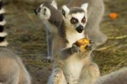 """В Экопарк часто прибывают """"новоселы"""" в рамках программы обмена между зоопарками. Фото: feldman-ecopark.com"""